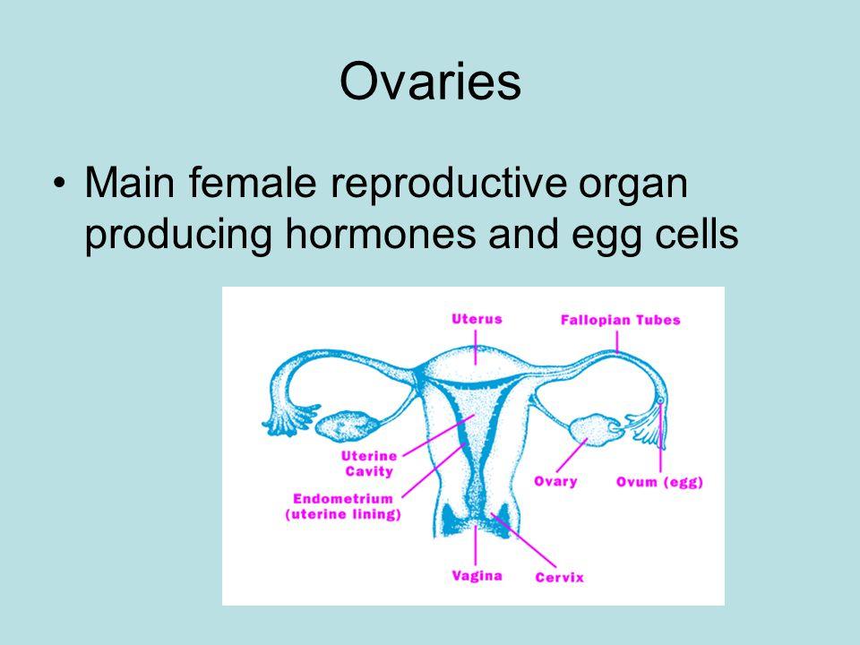 Oogenesis Creation of an ovum (egg cell) Creates 1 gamete