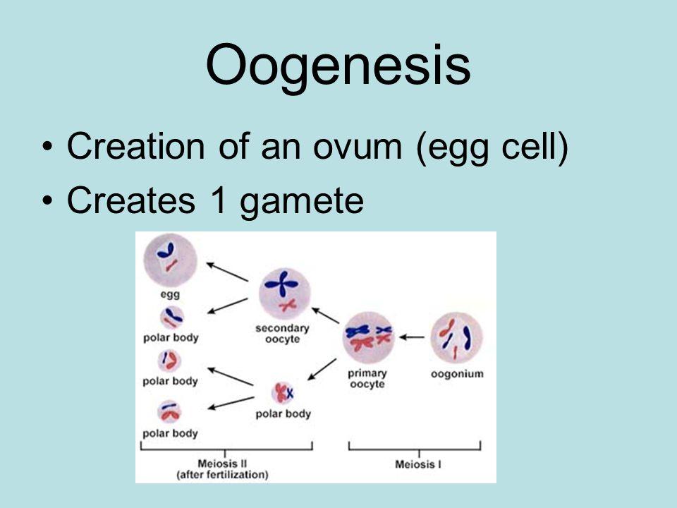 Uterus Hollow muscular organ within pelvis where a fetus develops.