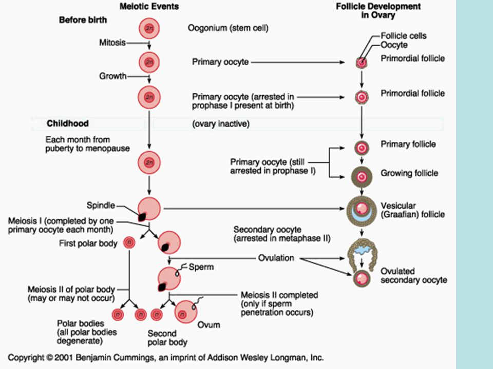 - primary oocyte unequally divided -secondary oocyte fertilized -2 nd division occurs generating a zygote -1 of the 4 haploid cells
