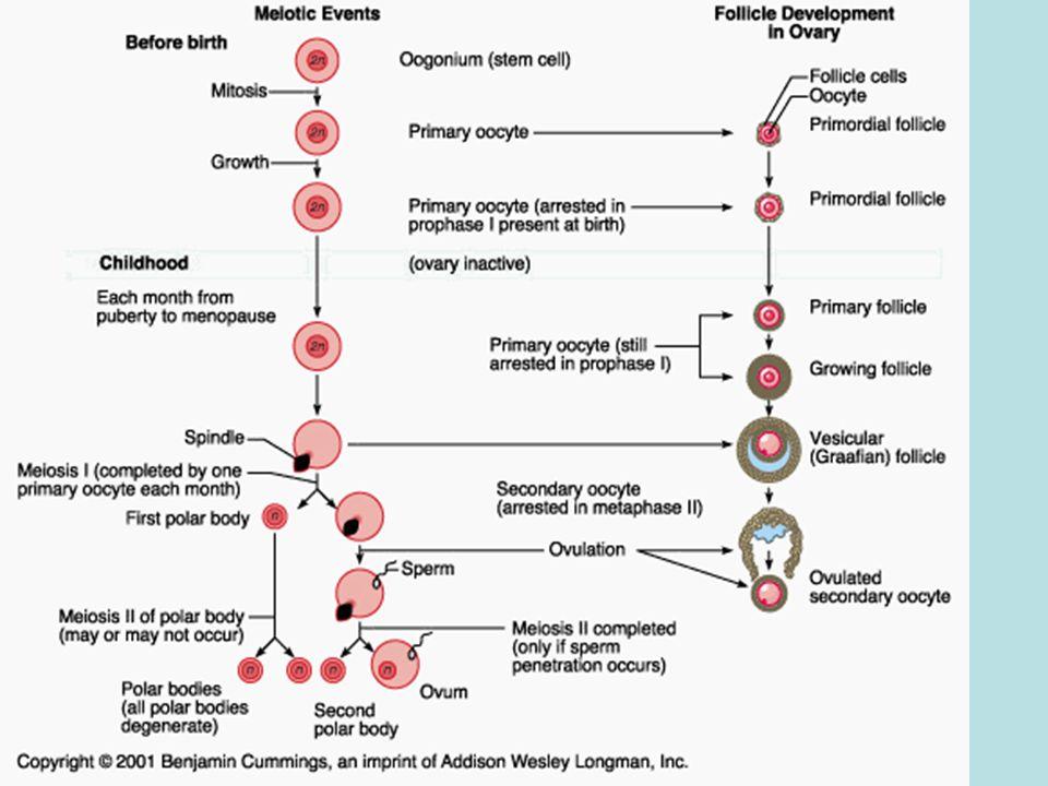 3-Layers 1.endometrium: inner mucosal layer- columnar epithelial and tubular glands.