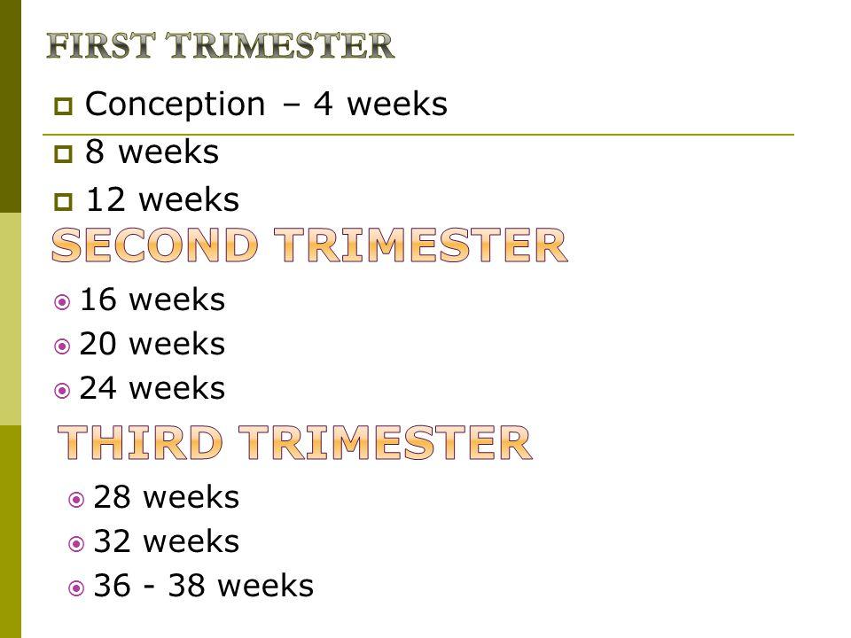  Conception – 4 weeks  8 weeks  12 weeks  16 weeks  20 weeks  24 weeks  28 weeks  32 weeks  36 - 38 weeks