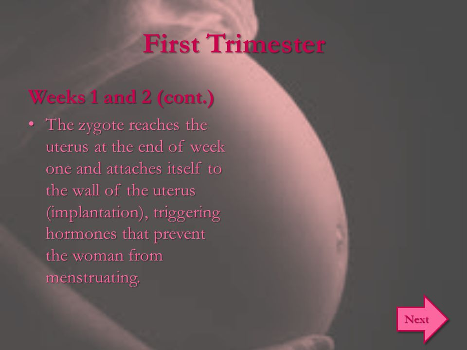First Trimester Weeks 1 and 2 (cont.) The zygote reaches the uterus at the end of week one and attaches itself to the wall of the uterus (implantation
