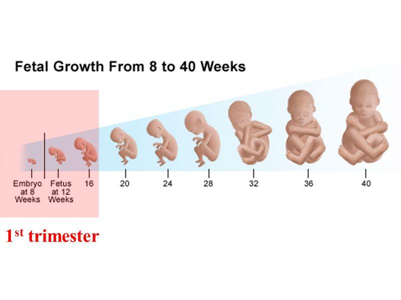 1 st trimester