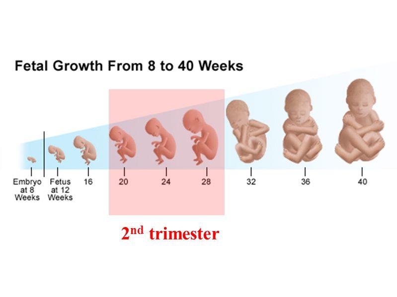 2 nd trimester