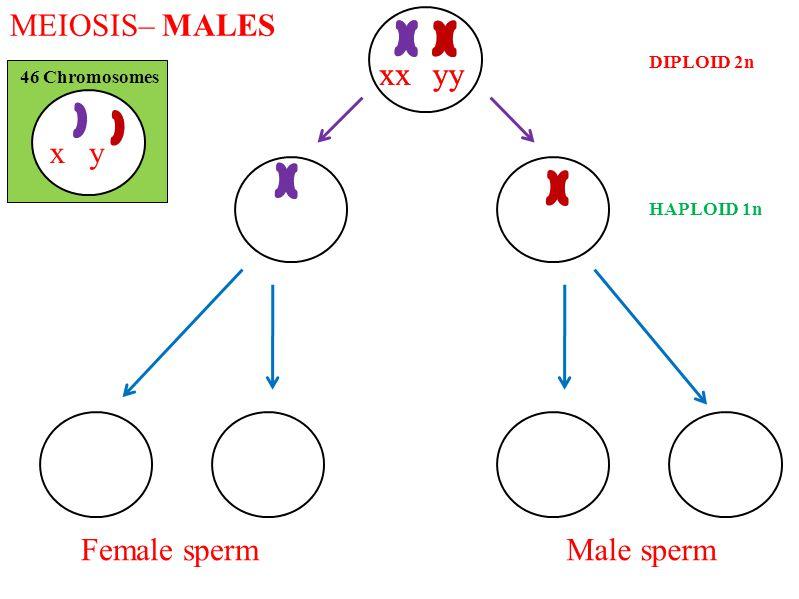 MEIOSIS– MALES 46 Chromosomes DIPLOID 2n HAPLOID 1n xy xxyyxxyy Female spermMale sperm
