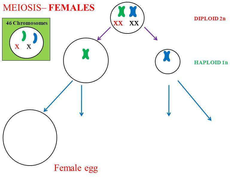 MEIOSIS– FEMALES 46 Chromosomes DIPLOID 2n HAPLOID 1n xx xxxxxxxx Female egg