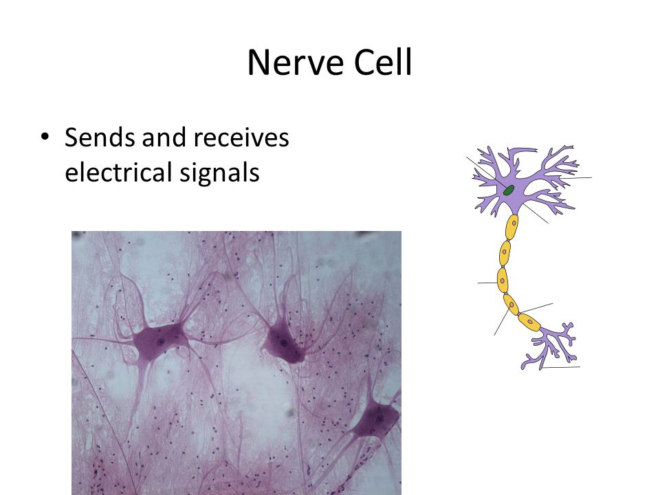 Nerve Cell Sends and receives electrical signals