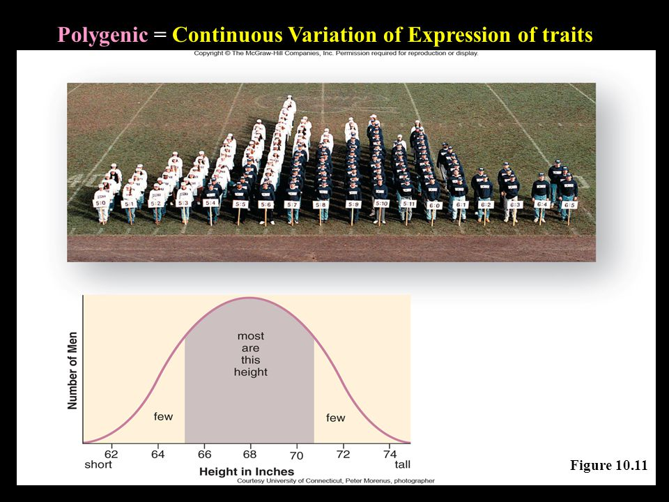 Polygenic = Continuous Variation of Expression of traits Figure 10.11