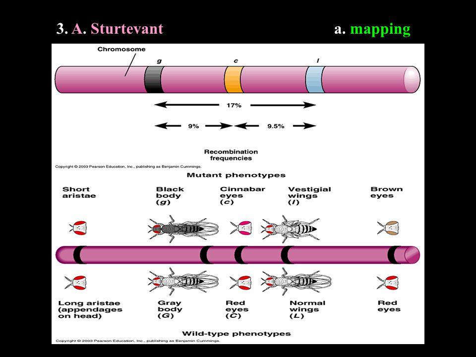 3. A. A. Sturtevanta. mapping