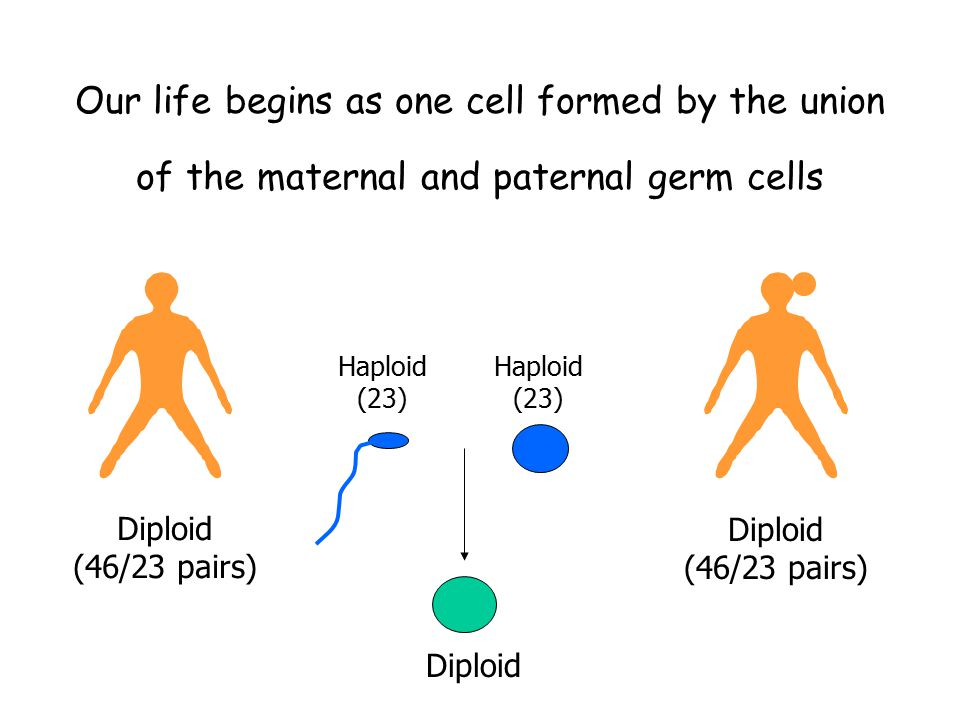 Our life begins as one cell formed by the union of the maternal and paternal germ cells Diploid (46/23 pairs) Diploid (46/23 pairs) Diploid Haploid (2