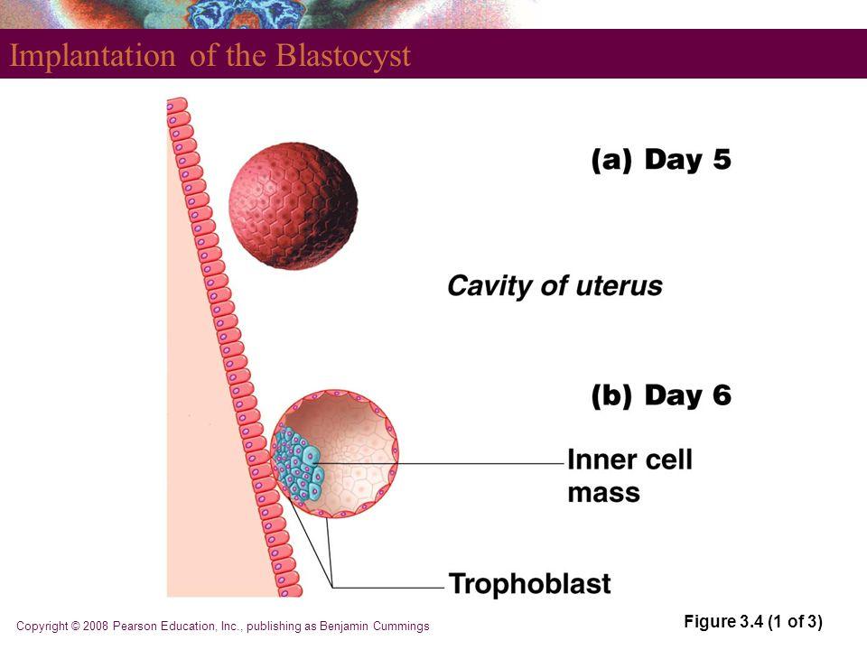 Copyright © 2008 Pearson Education, Inc., publishing as Benjamin Cummings Implantation of the Blastocyst Figure 3.4 (1 of 3)