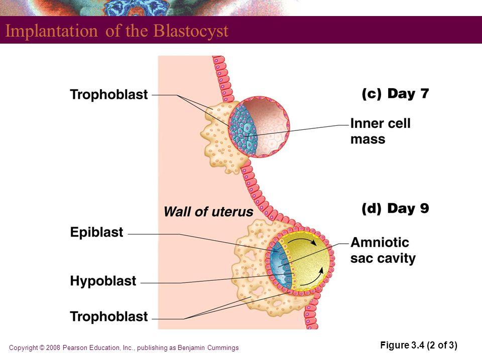 Copyright © 2008 Pearson Education, Inc., publishing as Benjamin Cummings Implantation of the Blastocyst Figure 3.4 (2 of 3)