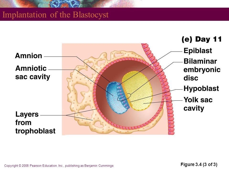 Copyright © 2008 Pearson Education, Inc., publishing as Benjamin Cummings Implantation of the Blastocyst Figure 3.4 (3 of 3)
