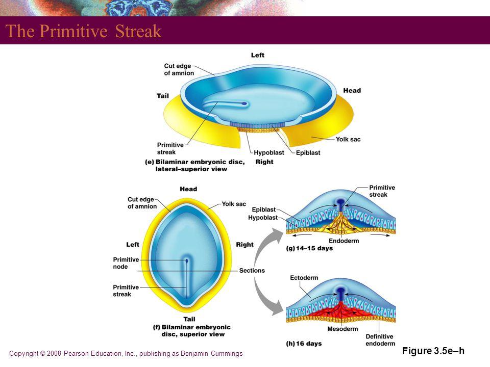 Copyright © 2008 Pearson Education, Inc., publishing as Benjamin Cummings The Primitive Streak Figure 3.5e–h