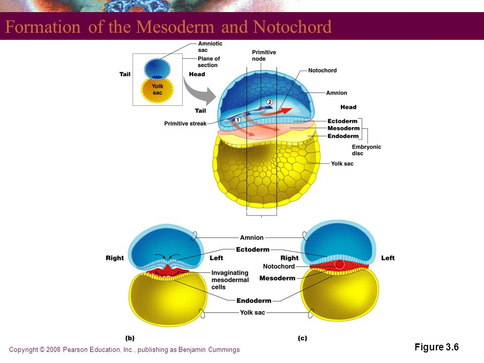 Copyright © 2008 Pearson Education, Inc., publishing as Benjamin Cummings Formation of the Mesoderm and Notochord Figure 3.6