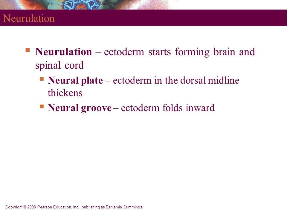 Copyright © 2008 Pearson Education, Inc., publishing as Benjamin Cummings Neurulation  Neurulation – ectoderm starts forming brain and spinal cord 