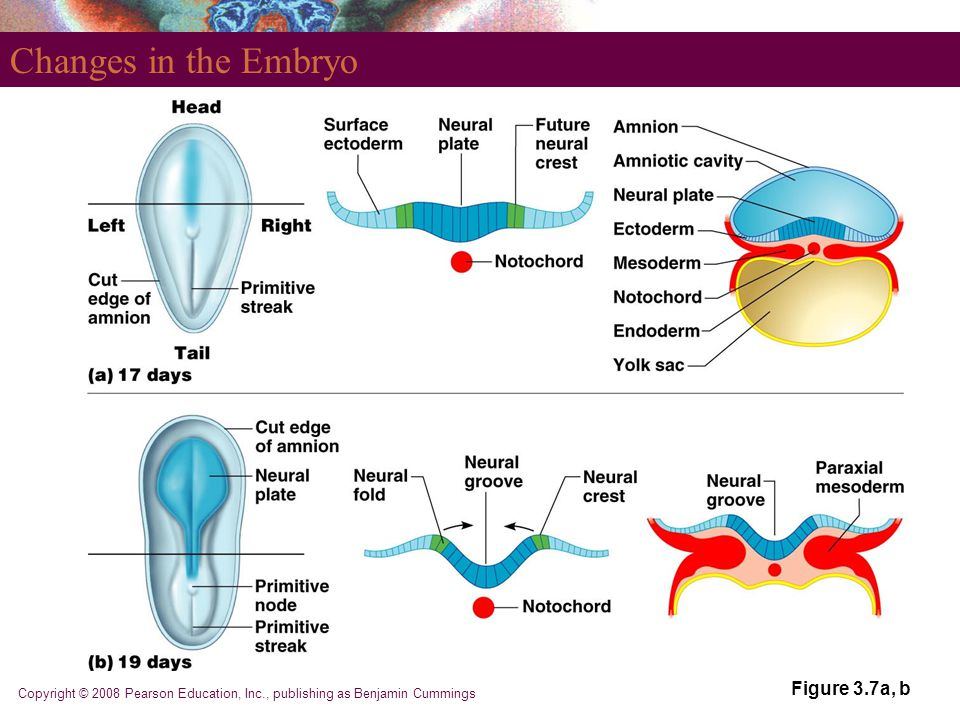 Copyright © 2008 Pearson Education, Inc., publishing as Benjamin Cummings Changes in the Embryo Figure 3.7a, b