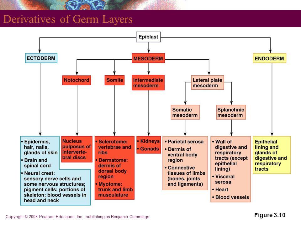 Copyright © 2008 Pearson Education, Inc., publishing as Benjamin Cummings Derivatives of Germ Layers Figure 3.10