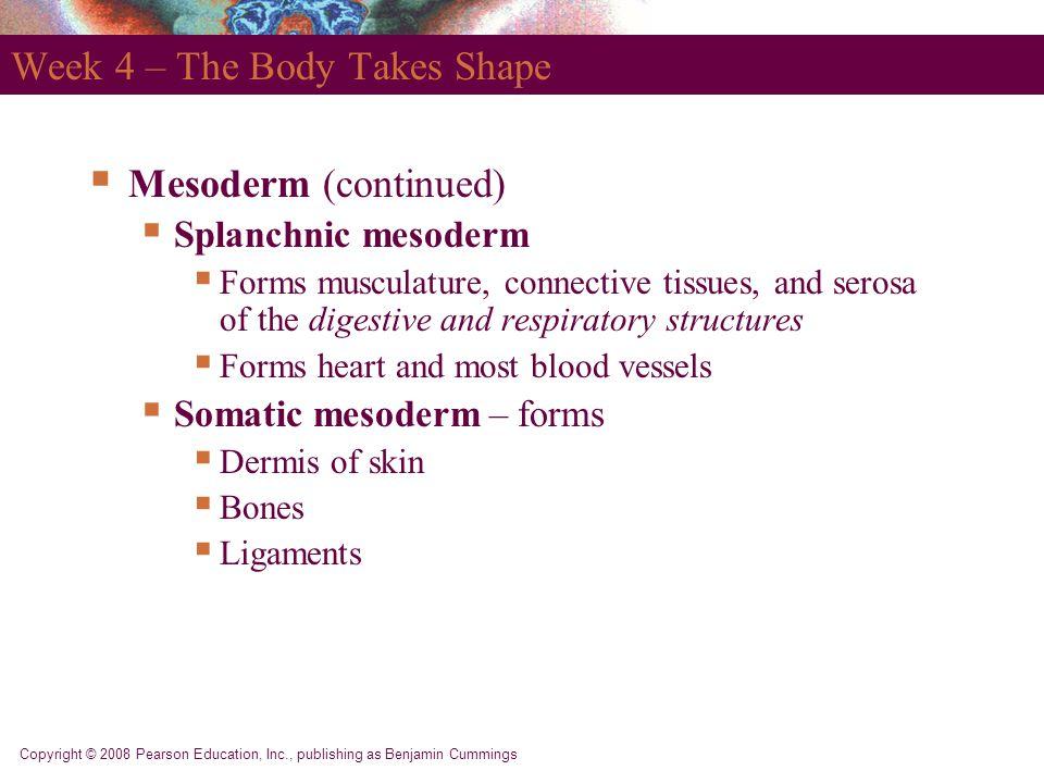 Copyright © 2008 Pearson Education, Inc., publishing as Benjamin Cummings Week 4 – The Body Takes Shape  Mesoderm (continued)  Splanchnic mesoderm 