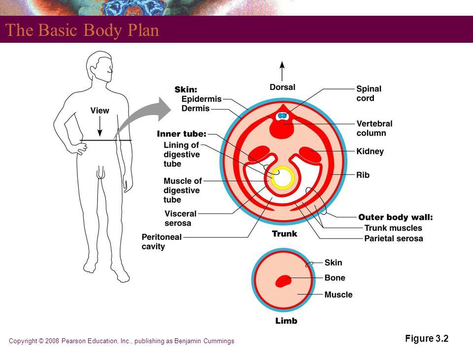 Copyright © 2008 Pearson Education, Inc., publishing as Benjamin Cummings The Basic Body Plan Figure 3.2