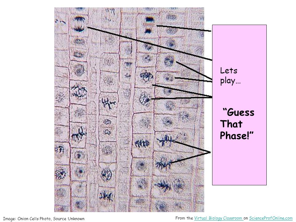 Lets play… Guess That Phase! Image: Onion Cells Photo, Source Unknown From the Virtual Biology Classroom on ScienceProfOnline.comVirtual Biology Classroom ScienceProfOnline.com