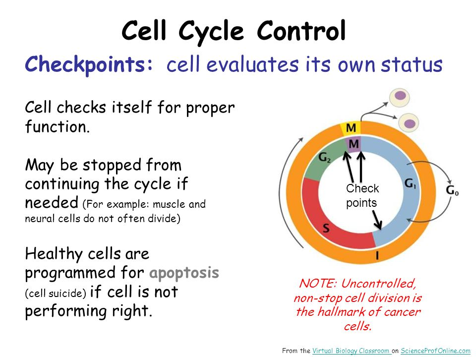 Cell Cycle Control Checkpoints: cell evaluates its own status Cell checks itself for proper function.