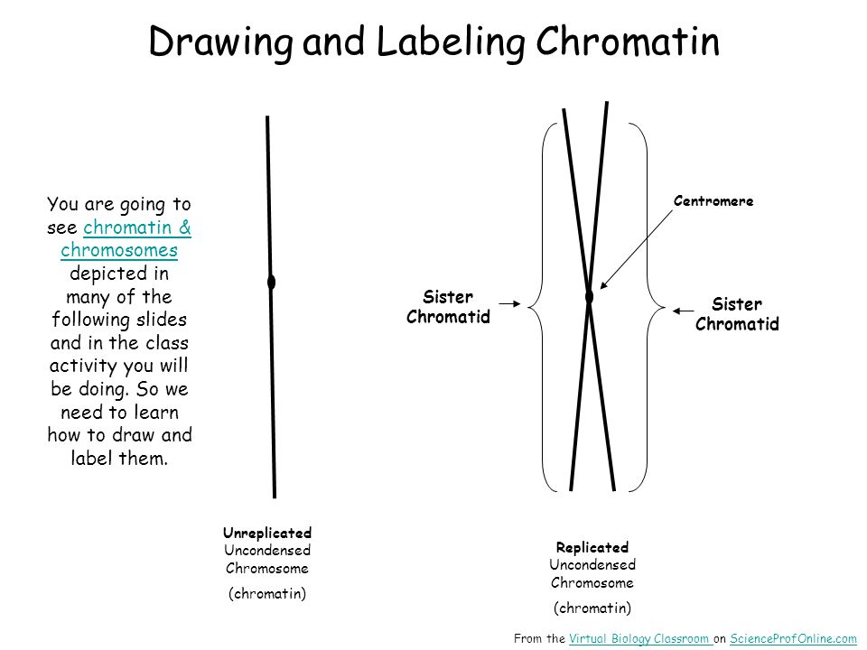 Drawing and Labeling Chromatin Sister Chromatid Replicated Uncondensed Chromosome (chromatin) Sister Chromatid Centromere Unreplicated Uncondensed Chromosome (chromatin) You are going to see chromatin & chromosomes depicted in many of the following slides and in the class activity you will be doing.