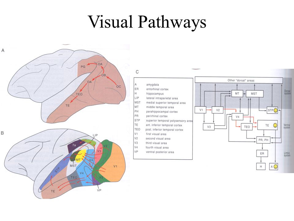 Dorsal Pathway Visuo-spatial disorder due to dorsal pathway damage Patient with parietal injury Newcombe et al (1987) Ettinger (1990) –difficulty choosing correct route through a small 10-choice maze by using a hand held stylus –NO difficulty moving himself through a maze –NO difficulty recalling complex geometrical patterns –NO difficulty carrying out tasks involving short term spatial memory Some spatial processing affected, object recognition and recollection unimpaired
