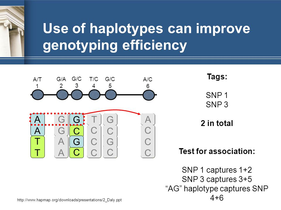 Use of haplotypes can improve genotyping efficiency AAAA TTTT G C C G G C C G T CCCCCC A CCCCCC G C C G T CCCCCC GGGG AAAA GGGG AAAA A CCCCCC A/T 1 G/A 2 G/C 3 T/C 4 G/C 5 A/C 6 http://www.hapmap.org/downloads/presentations/2_Daly.ppt Tags: SNP 1 SNP 3 2 in total Test for association: SNP 1 captures 1+2 SNP 3 captures 3+5 AG haplotype captures SNP 4+6