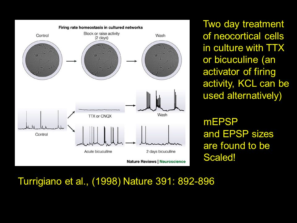 Turrigiano et al., (1998) Nature 391: 892-896 Two day treatment of neocortical cells in culture with TTX or bicuculine (an activator of firing activity, KCL can be used alternatively) mEPSP and EPSP sizes are found to be Scaled!