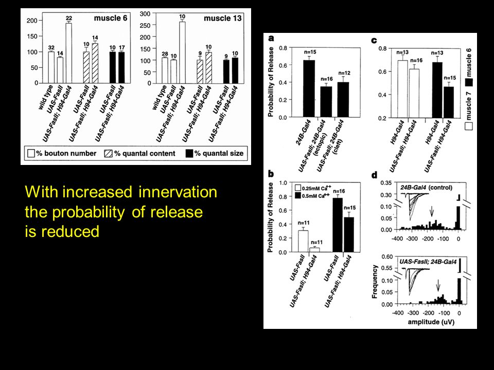 With increased innervation the probability of release is reduced