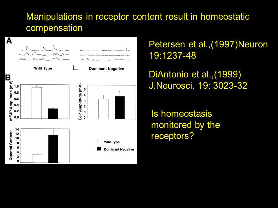 Manipulations in receptor content result in homeostatic compensation Petersen et al.,(1997)Neuron 19:1237-48 DiAntonio et al.,(1999) J.Neurosci.