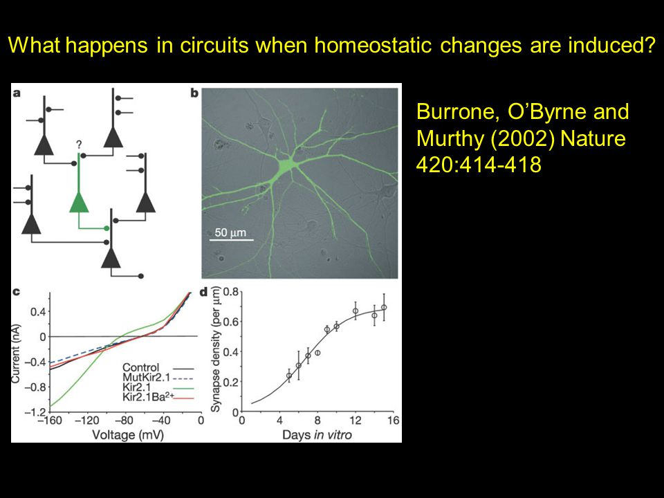 What happens in circuits when homeostatic changes are induced? Burrone, O'Byrne and Murthy (2002) Nature 420:414-418