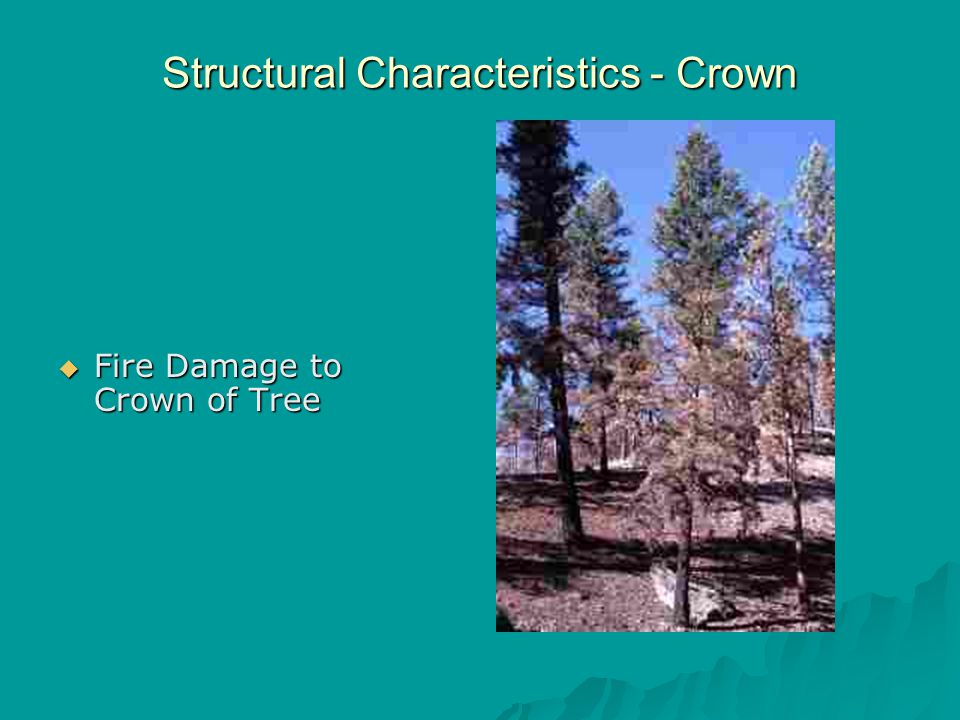 Structural Characteristics - Crown  Fire Damage to Crown of Tree