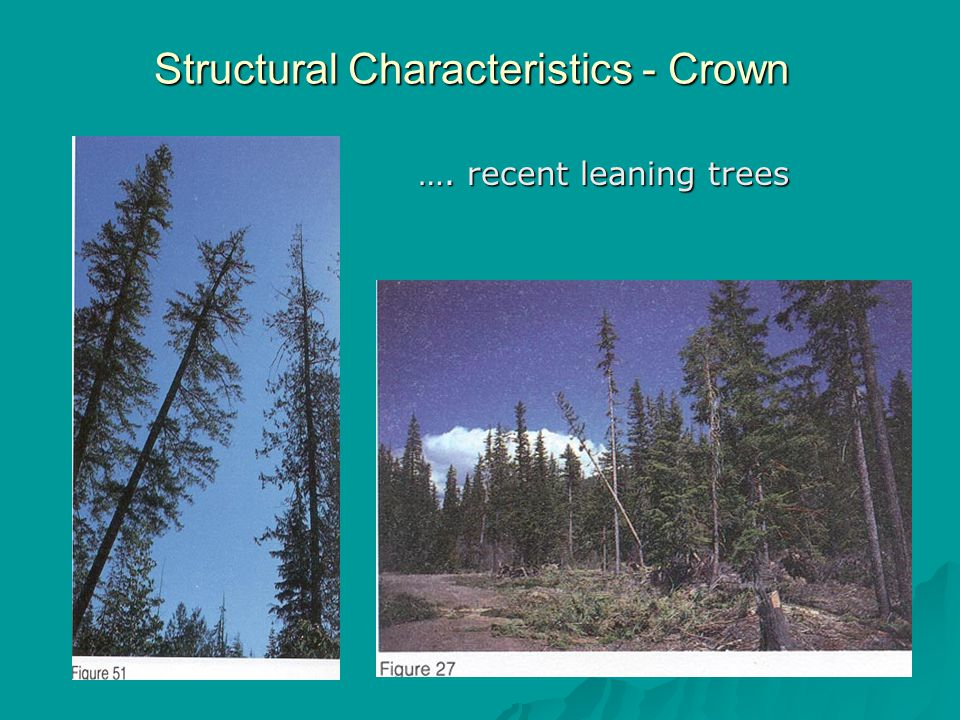 Structural Characteristics - Crown …. recent leaning trees