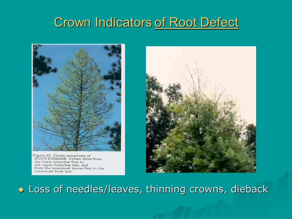 Crown Indicators of Root Defect  Loss of needles/leaves, thinning crowns, dieback