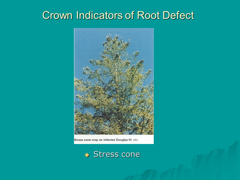 Crown Indicators of Root Defect  Stress cone
