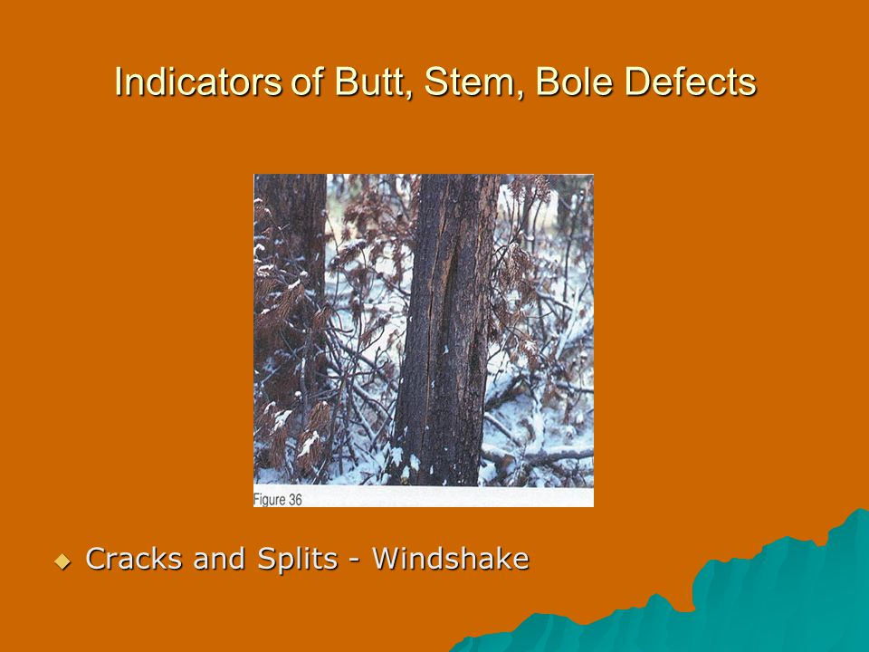 Indicators of Butt, Stem, Bole Defects  Cracks and Splits - Windshake