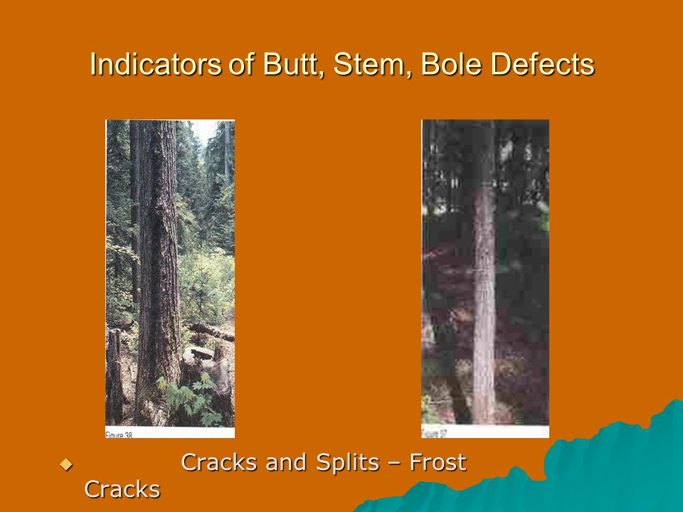 Indicators of Butt, Stem, Bole Defects  Cracks and Splits – Frost Cracks