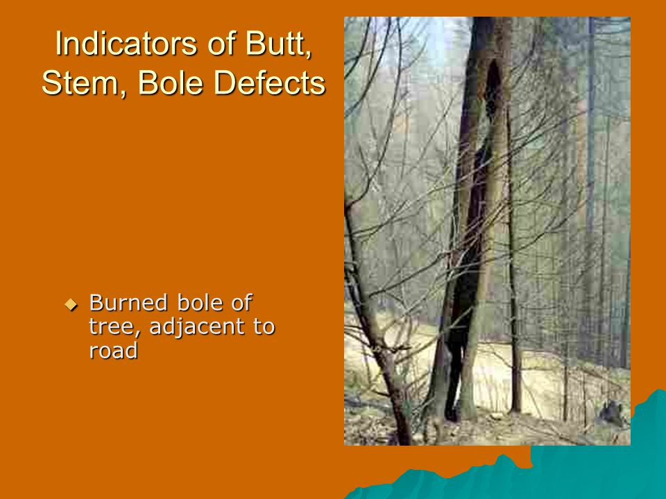 Indicators of Butt, Stem, Bole Defects  Burned bole of tree, adjacent to road