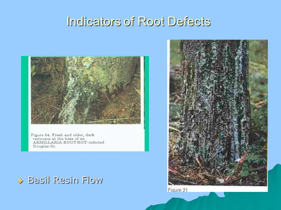 Indicators of Root Defects  Basil Resin Flow
