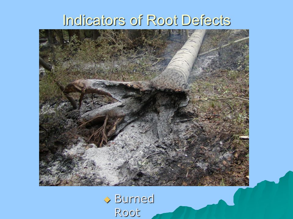 Indicators of Root Defects  Burned Root