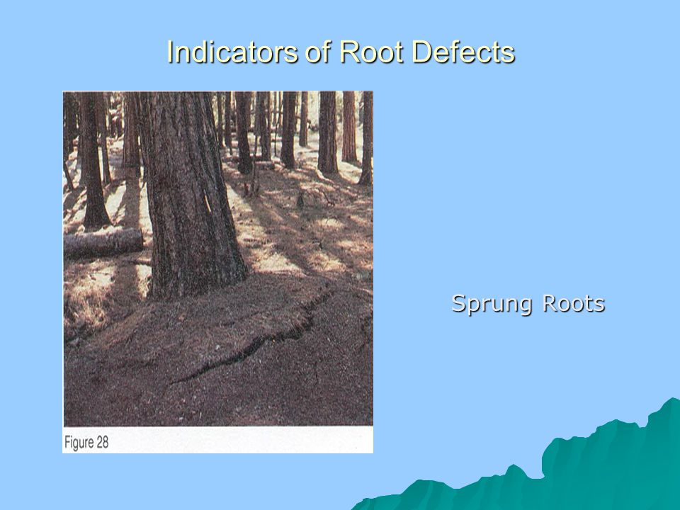Indicators of Root Defects Sprung Roots Sprung Roots