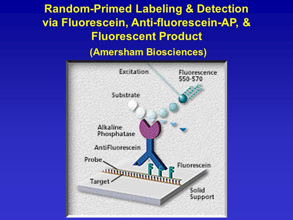 Random-Primed Labeling & Detection via Fluorescein, Anti-fluorescein-AP, & Fluorescent Product (Amersham Biosciences)