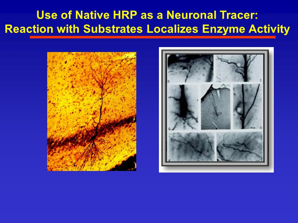 Use of Native HRP as a Neuronal Tracer: Reaction with Substrates Localizes Enzyme Activity