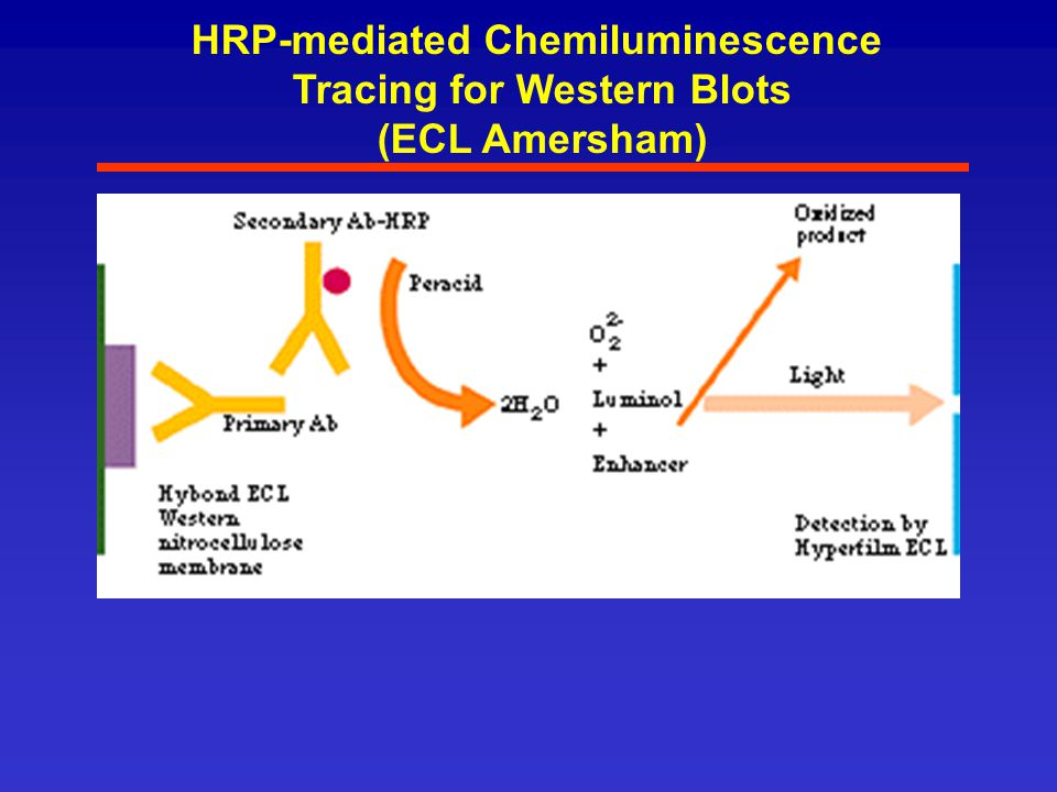 HRP-mediated Chemiluminescence Tracing for Western Blots (ECL Amersham)
