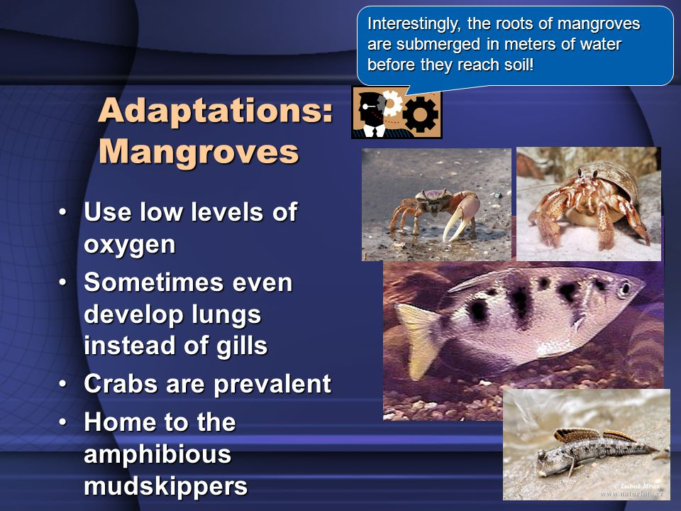 Adaptations: Mangroves Use low levels of oxygenUse low levels of oxygen Sometimes even develop lungs instead of gillsSometimes even develop lungs instead of gills Crabs are prevalentCrabs are prevalent Home to the amphibious mudskippersHome to the amphibious mudskippers Interestingly, the roots of mangroves are submerged in meters of water before they reach soil!