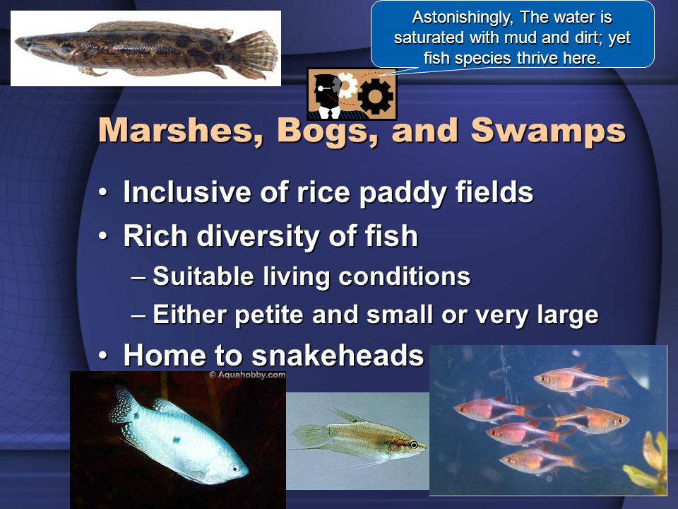 Marshes, Bogs, and Swamps Astonishingly, The water is saturated with mud and dirt; yet fish species thrive here.