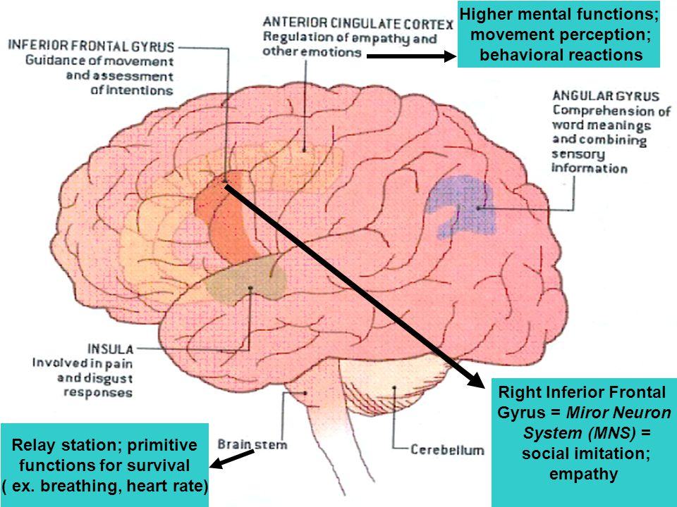 Right Inferior Frontal Gyrus = Miror Neuron System (MNS) = social imitation; empathy Relay station; primitive functions for survival ( ex.