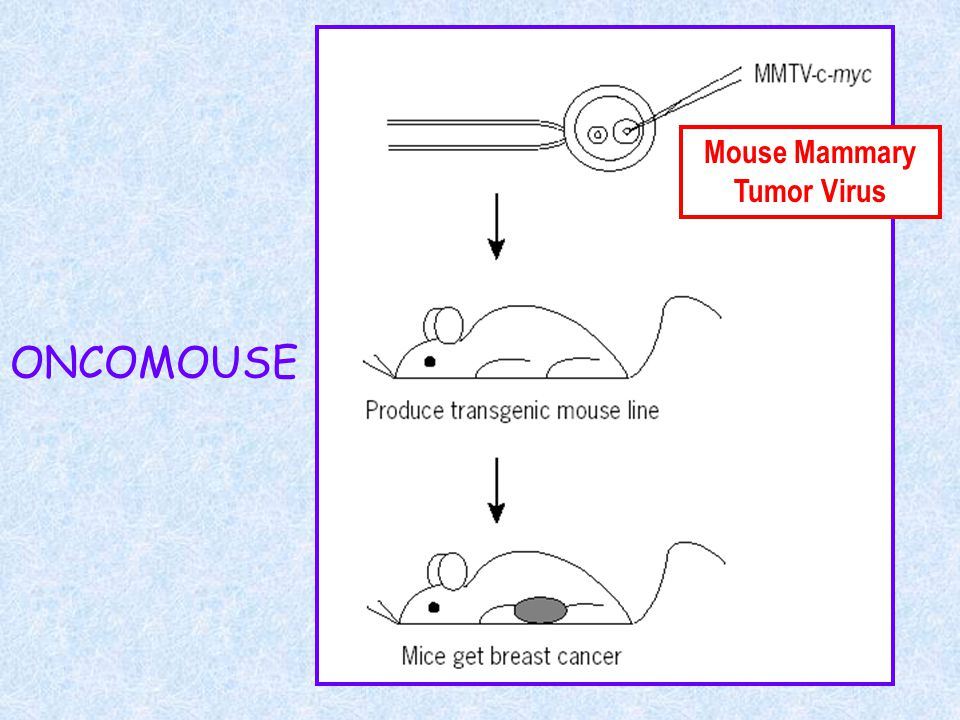 ONCOMOUSE Mouse Mammary Tumor Virus